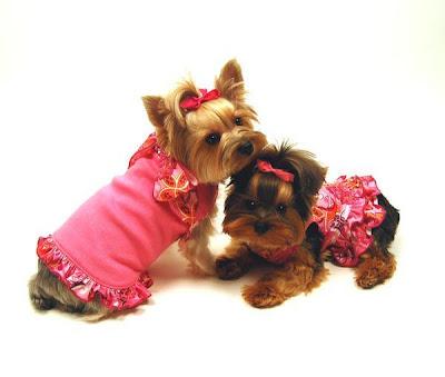 Yorkitas modelo de ropa canina! Paris+Noel%3B+Bella+LaRue%3B+Madeline+Monet+y+Lili+Patou+perritas+modalos+yorky+moda+canina+3