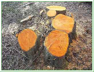 newly coppiced alder stool