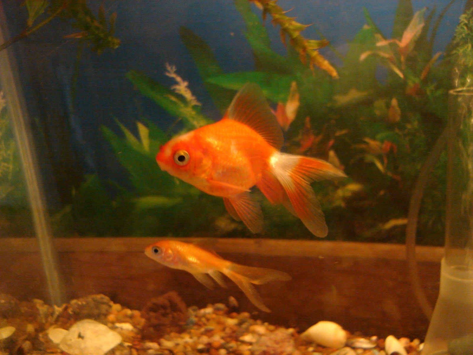 El acuario tropical y el de agua fria mi acuario en casa for Los mejores peces de agua fria