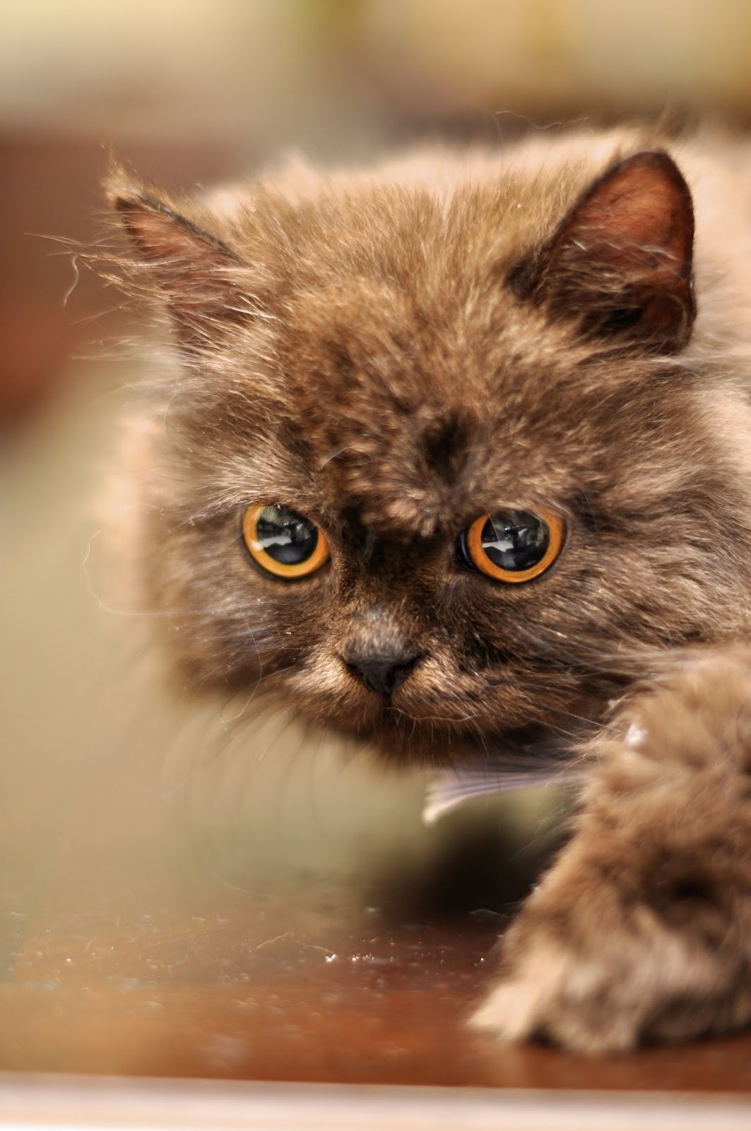 Photography: Cute Persian Cats!!! | Your Daily Dose Of