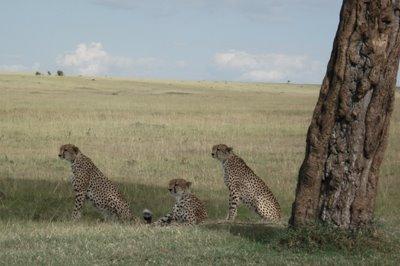 [Cheetah.jpg]