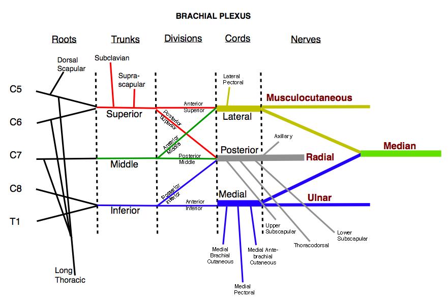 brachial plexus schematic-#main