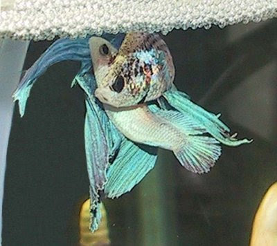 The evilutionary biologist for Betta fish mating
