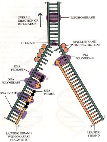 dna replication essay dna replication essay the conservative replication model biology essay