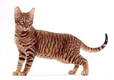 Cat Breeds: ... Cat That Looks Like A Tiger Breed