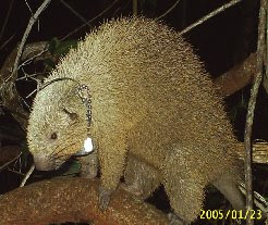 Animais que podem ser vistos na RPPN Mãe da Mata - Ouriço Preto