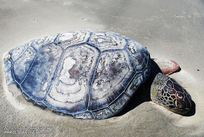 tartaruga na praia