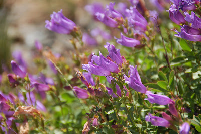 Wildflowers near Mt. Brown lookout