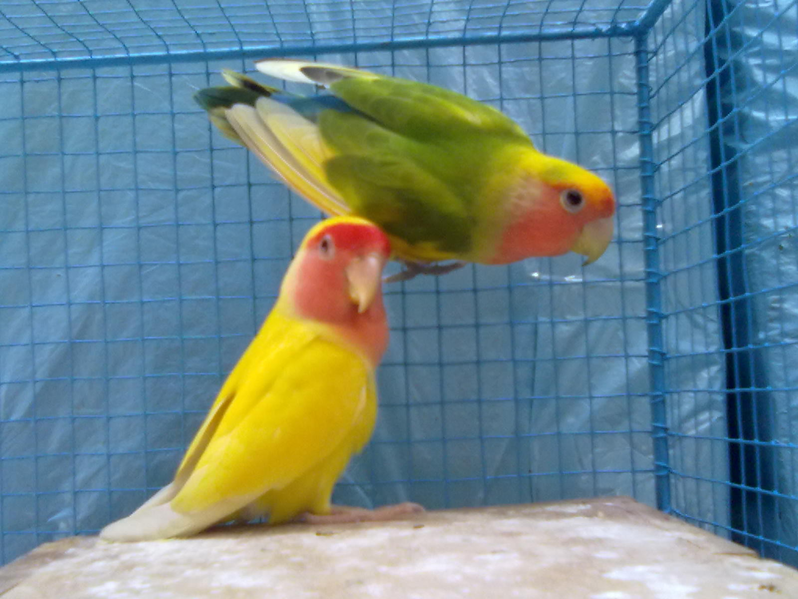 Lovebirds  Parrot Parrot