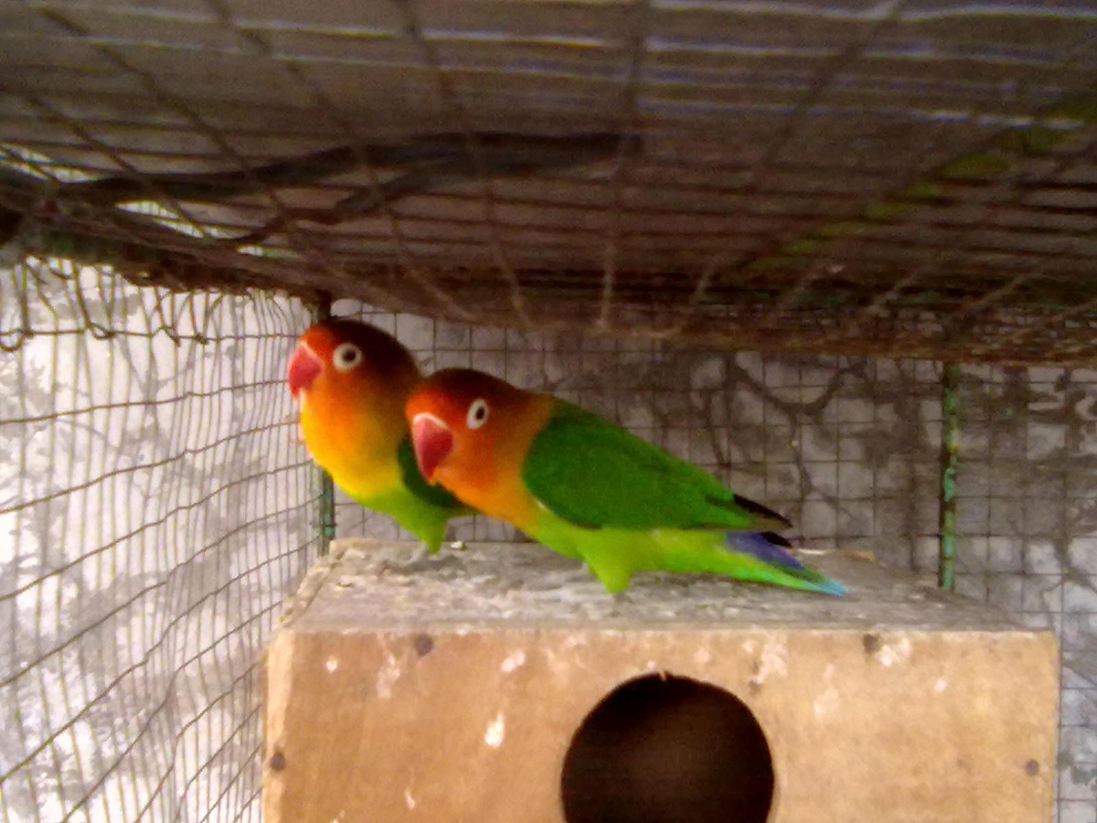 juragan love bird sepasang induk hijau kepala merah