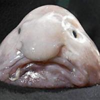 Bolbfish o peixe mais feio do mundo