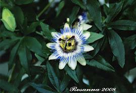 Passifloa in fioritura