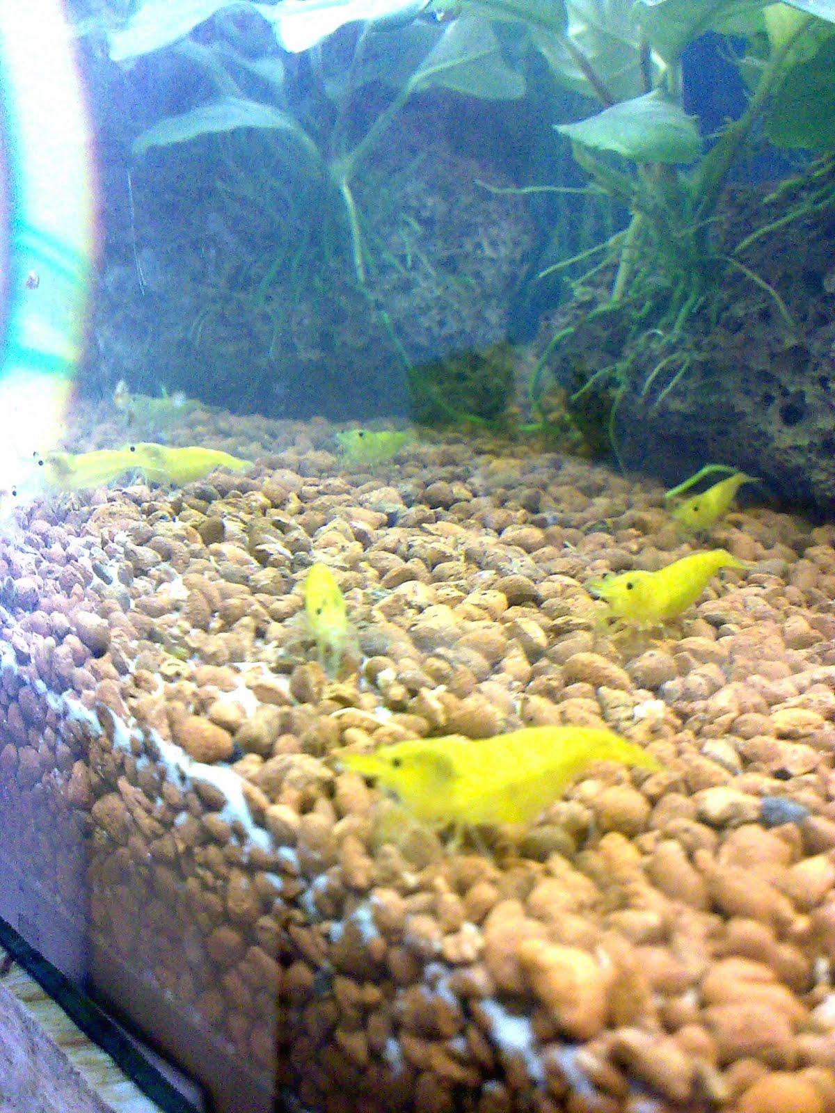 Rendo shrimp nano aquaristik neocaridina garnelen for Welche teichfische fressen algen