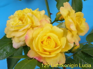 Lichtkonigin Lucia rose сорт розы фото