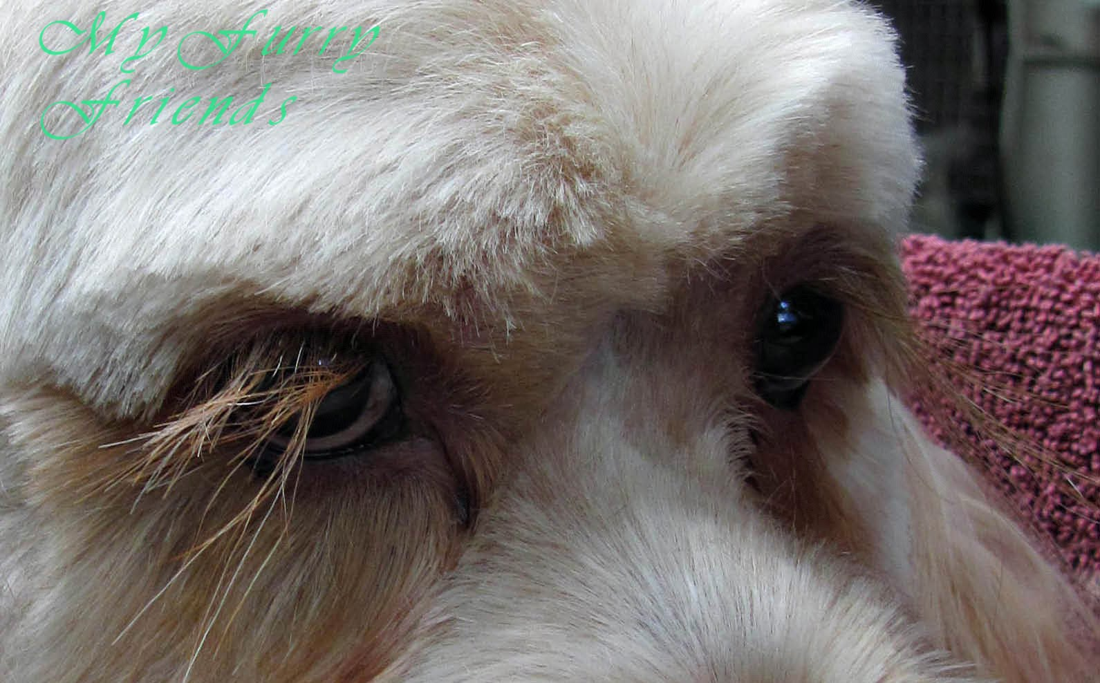 Pet Grooming: The Good, The Bad, & The Furry: Do NOT cut the lashes!