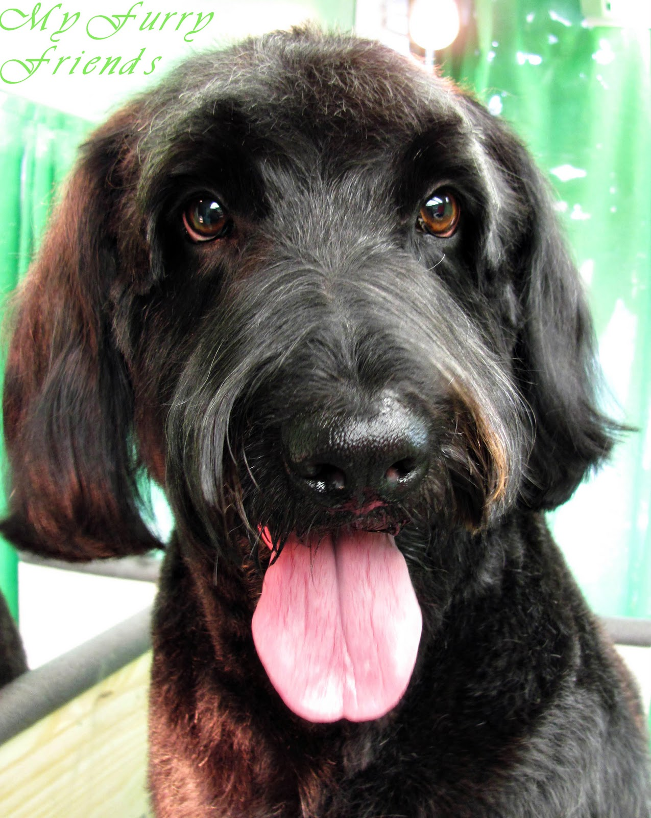Pet Grooming: The Good, The Bad, & The Furry: Grooming Labradoodles ...
