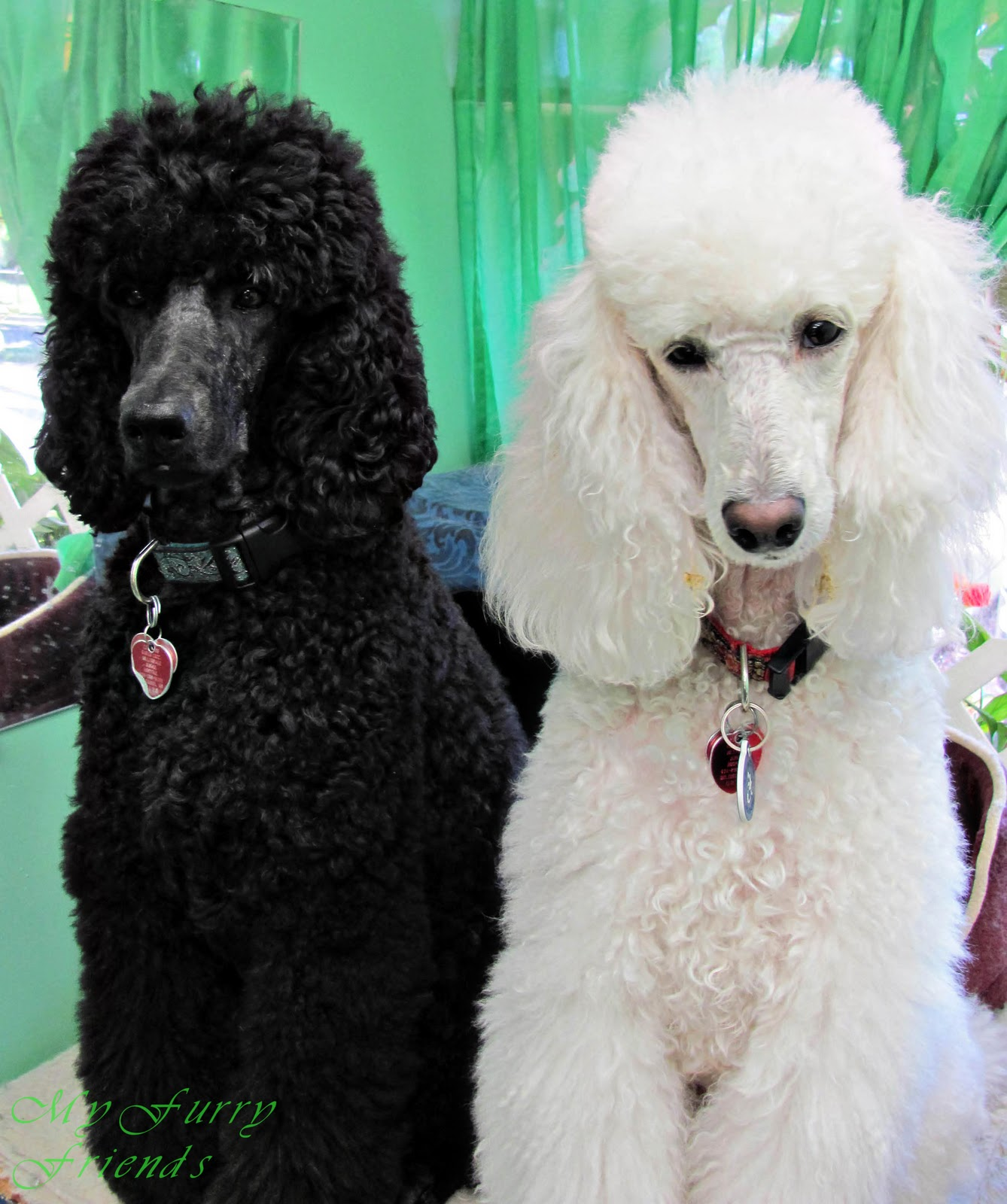 Standard poodle haircuts or of unless soft haircuts standard poodle - I Don T See Where Any Of The Doodles On This Blog Look Like My Poodles