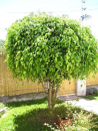 Tipos de plantas jardineria for Arboles para interior casa