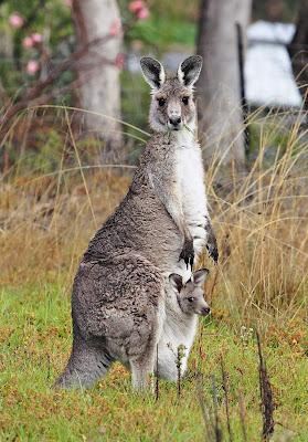 http://1.bp.blogspot.com/_9gvfDaDzpXM/TEehsKkQ-oI/AAAAAAAADMg/_ijT_CNSsIE/s1600/Australian+Animals+(11).jpg
