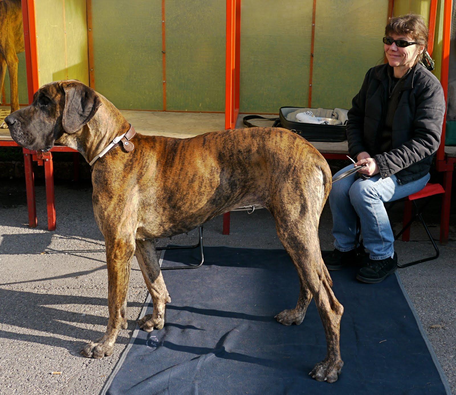 Half Mastiff Half Great Dane | Dog Breeds Picture