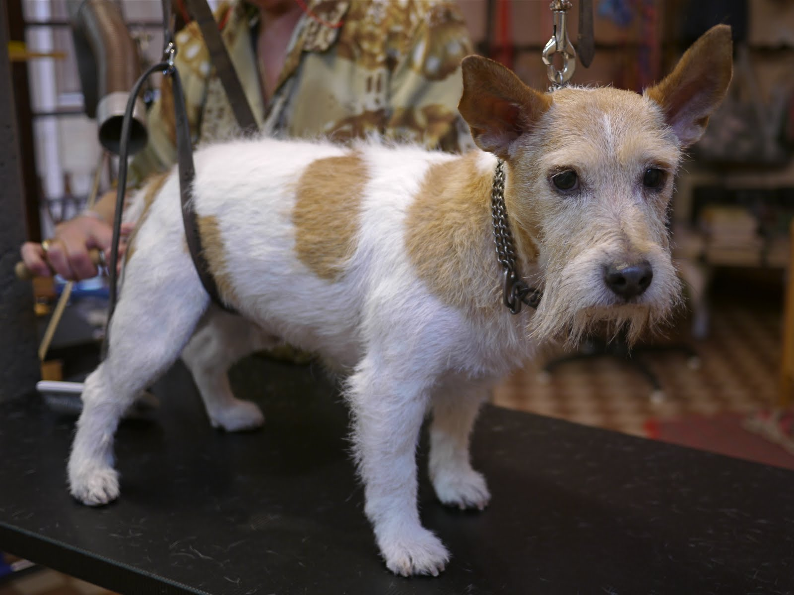 pin dachshund wirehaired terrier mix on pinterest