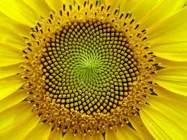 ოქროს კვეთის პრინციპითაა განლაგებული მზესუმზირას მარცვლები