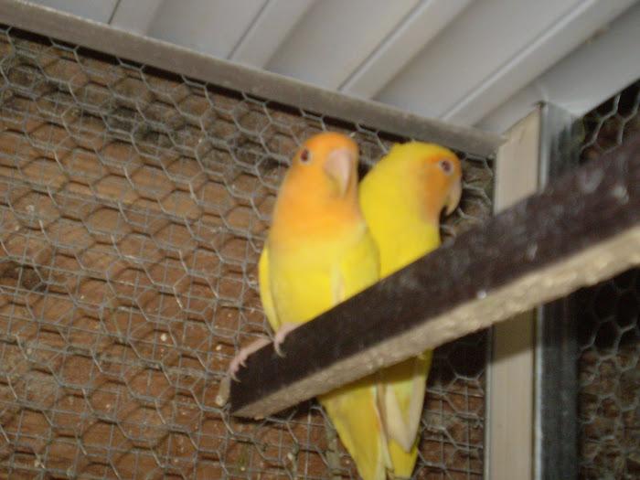 casal de lutinos face laranja
