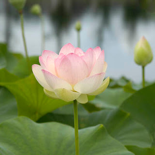 Nelumbo Nucifera Lotus in Lewis Ginter Botanical Garden