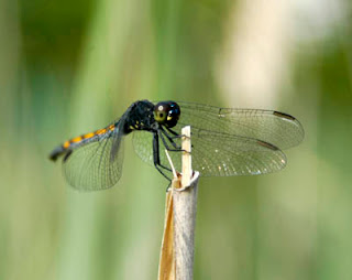 dragonfly at Camp Merryelande