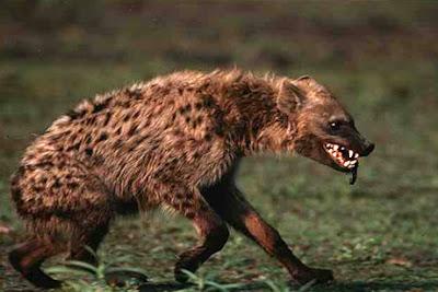 http://1.bp.blogspot.com/_9jmxfn73O3A/Sa4LGHXk5uI/AAAAAAAAAcs/SCl-fWhPxZM/s400/hyena.jpg