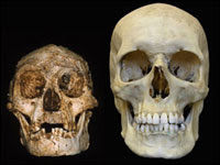 Homo floresiensis hobbit homo sapiens skull cranio