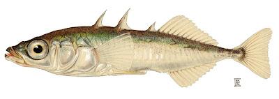 Esganagata Gasterosteus aculeatus threespine stickleback