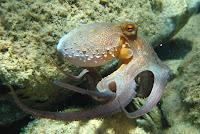 Polvo octopus