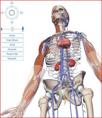 Visible Body esqueleto orgãos organs