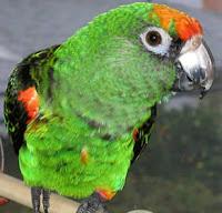 Papagaio Verde Green Parrot