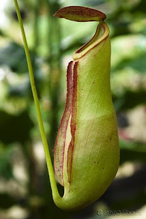 Nepenthaceae
