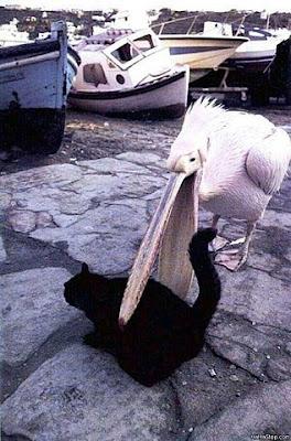 Pelican eating cat