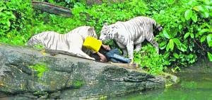 horrible incidents man killed by white tiger in singapore