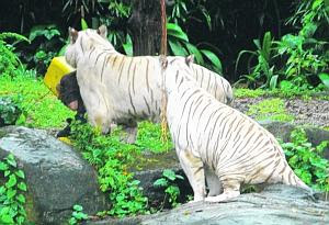 Tiger Attack Singapore Picture on Incidents  Man Killed By White Tiger In Singapore Zoo With Video Clips
