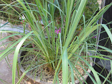 Lemon Grass from My Garden