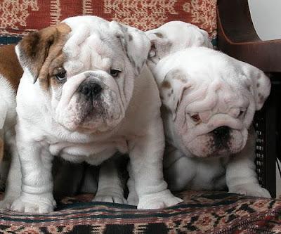 cachorros compro: