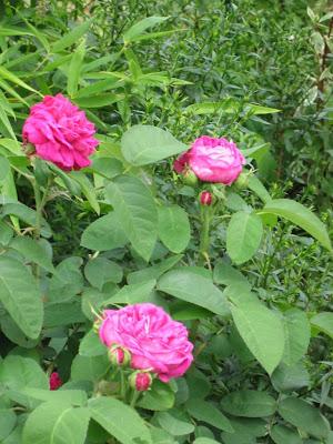 willkommen bei gr nzeux eine rose ist eine rose ist eine rose. Black Bedroom Furniture Sets. Home Design Ideas