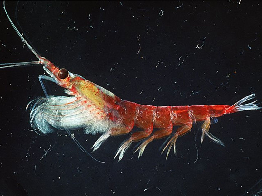 Animal a day antarctic krill for Antarctic cuisine