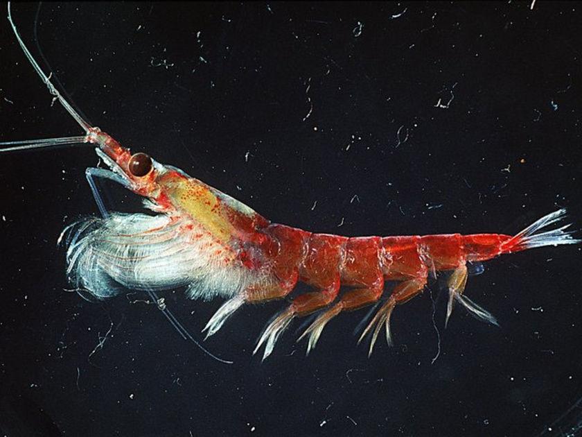 What Eats Krill Food Web
