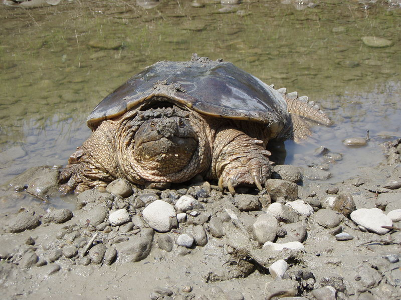 Animal A Day!: Common Snapping Turtle