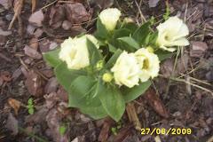 Eustoma biała