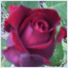 Róża pąsowa