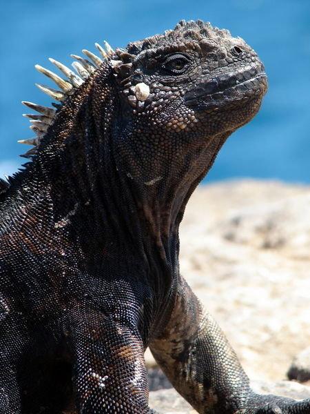 foto iguana - gambar hewan - foto iguana