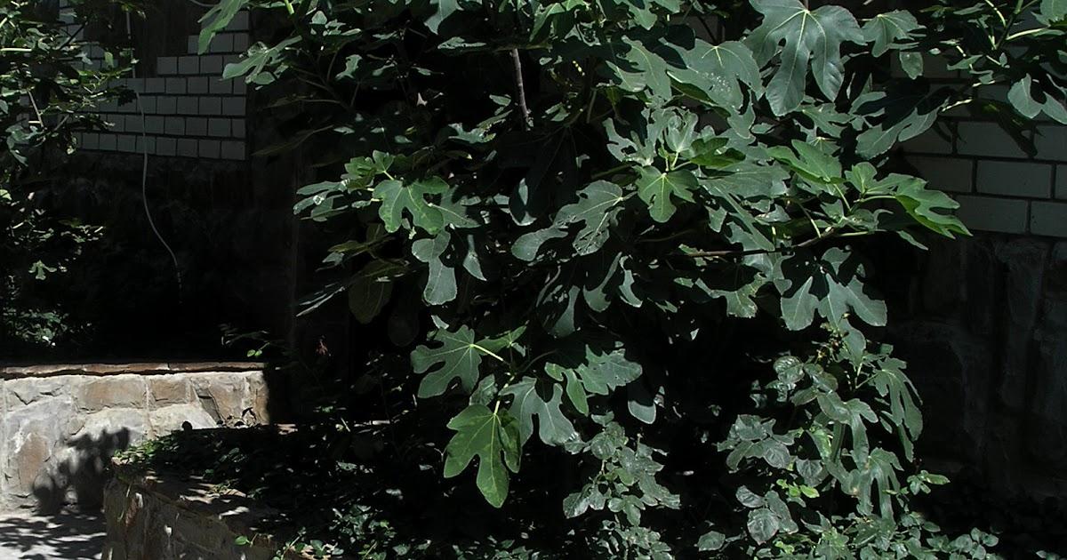 Выращивание инжира в кадках 95