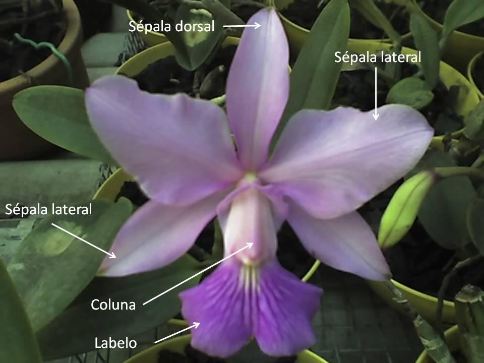 Perfecto Orquídea Anatomía Flor Imagen - Anatomía de Las Imágenesdel ...